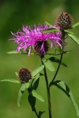 Violet thistle flower (Cirsium)