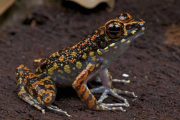 Striped stream frog / Hylarana signata