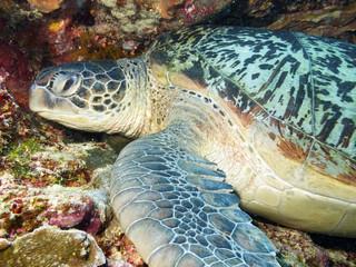 Hawksbill Turtle,  Bunaken, Sulawesi.
