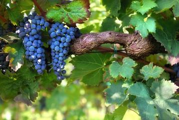 Italian vineyard Fototapete
