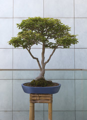 Bonsai tree in pot in front of wall
