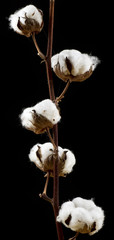 Cotton flowers over black background