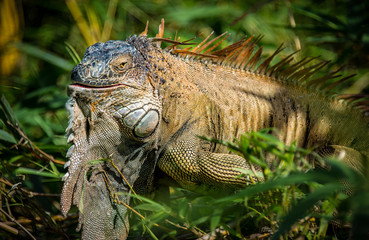 Green Iguana in the wild