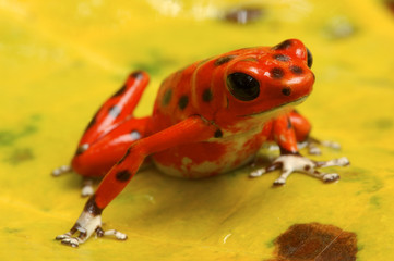 Dart Poison frog