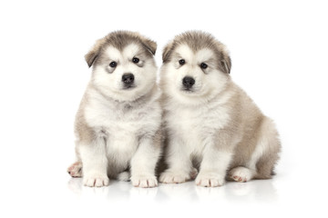 Two malamute puppies