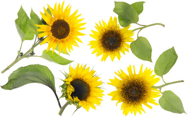 Isolated real mini sunflowers set