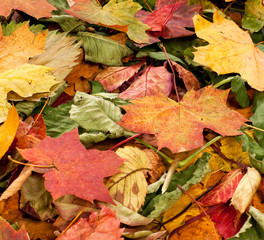 Beautiful background of colorful fallen autimn leaves