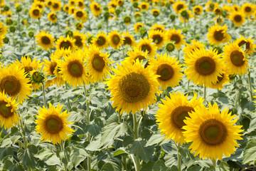 Sunflower field background