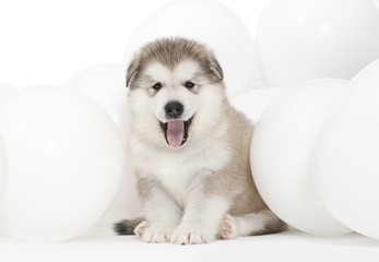 Alaskan malamute puppy with white balloons