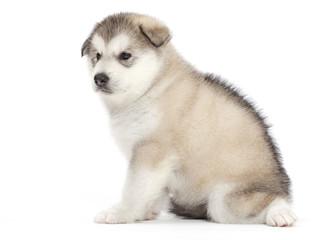 Malamute puppy