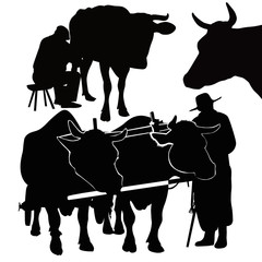 Cow a calf animals it is isolated