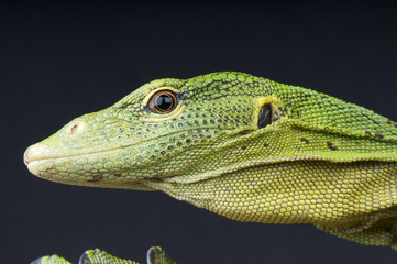 Emerald tree monitor / Varanus prasinus