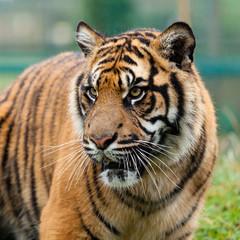 Wall Mural - Head Shot of Beautiful Sumatran Tiger