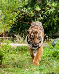 Wall Mural - Sumatran Tiger Licking Lips Panthera Tigris Sumatrae