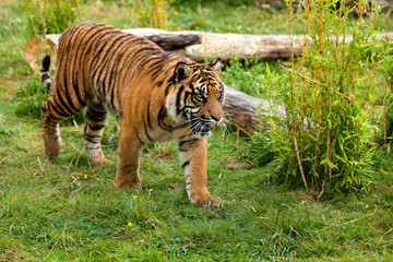Wall Mural - Young Sumatran Tiger Prowling Through Greenery