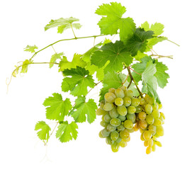 Bunch of white grapes on a vine with green leaves. isolate
