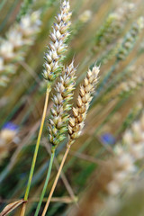 wheat crops plant