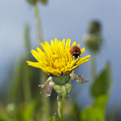 Ladybird sitting on blooming dandelion