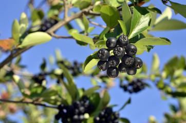 fruits of black chokeberry (aronia)
