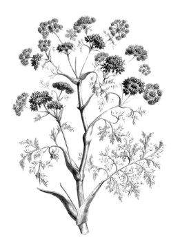 Plant : Silphium (asteracaea)