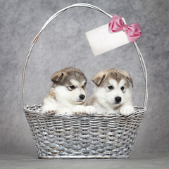 Alaskan malamute puppies in a basket