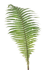 Fern real forest leaf isolated