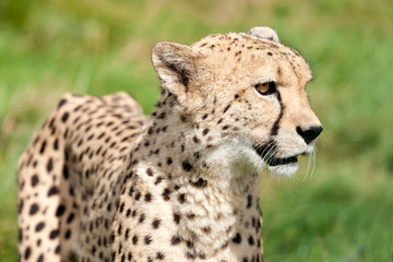 Wall Mural - Side Portrait of Cheetah Against Grass