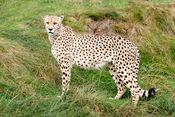 Wall Mural - Cheetah Standing Against Grassy Bank