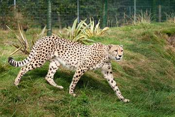 Wall Mural - Cheetah Pacing through Grass in Enclosure