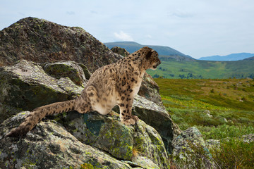 Snow leopard  on rocky