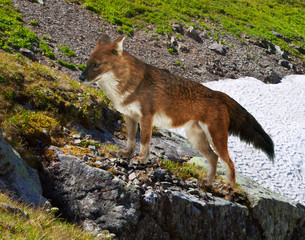 Dhole on rock