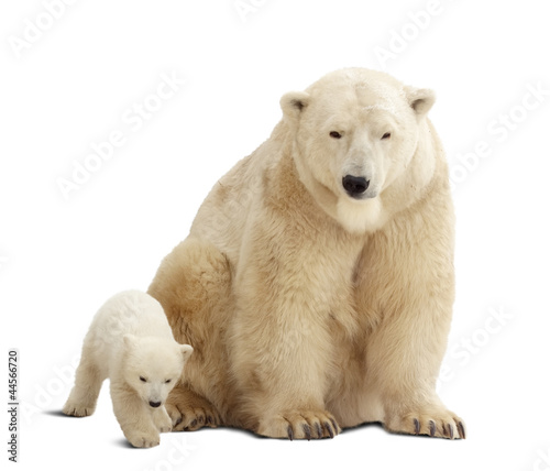 Wall mural polar bear with baby. Isolated over white