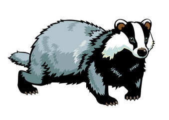 standing Eurasian badger on white