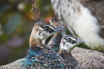 peahen sat in a group