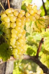 White grapes in vineyard