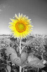 Sunflower on a farmer field