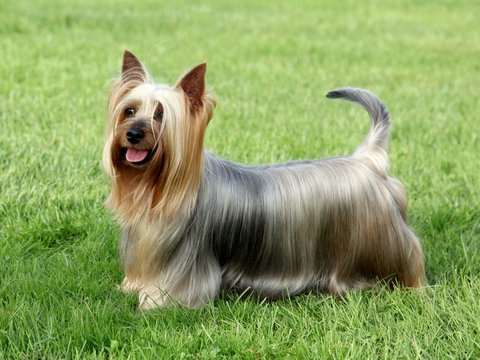 Australian Silky Terrier on the green grass lawn