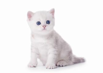 small silver british kitten on white background