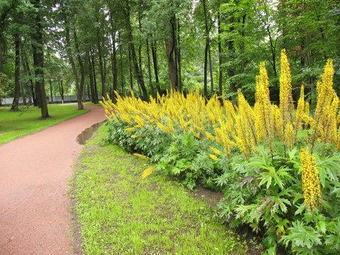 Ligularia przewalskii in the flower bed