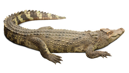 Poster Crocodile Crocodile with clipping path included.