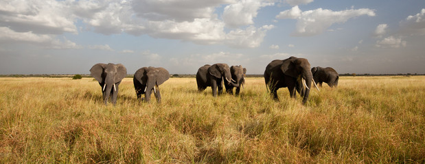 Acrylic Prints Africa Elephant Herd on the Move: Walking toward the camera