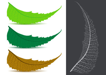 Indian Herbal / Medicinal Leaf - Neem Vector Illustration