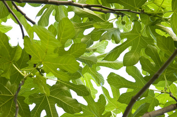 Fig leaves.