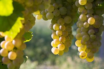 grappoli di uva matura bianca (Erbaluce), Piemonte, Italia