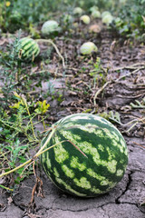 ripe watermelons on the plantation