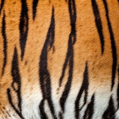 Real Live Tiger Fur Stripe Pattern Background