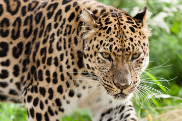 Wall Mural - Head Shot of Amur Leopard Stalking Forwards