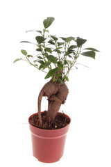 Bonsai Ficus Tree