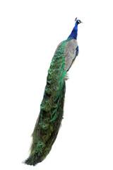 Photo sur Plexiglas Paon peacock