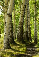 Keuken foto achterwand Berkbosje Trail in the forest with birch trees